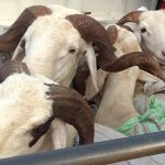 Dr Alioune Badara KANE DIOUF : «les moutons peuvent être source de propagation du coronavirus»