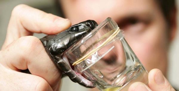 Médicament : un coagulant super-efficace dans le venin de serpent