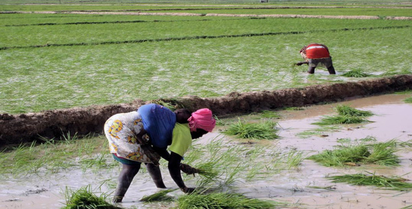 Riz : une production de 40 millions de tonnes attendue sur le continent d'ici 2025