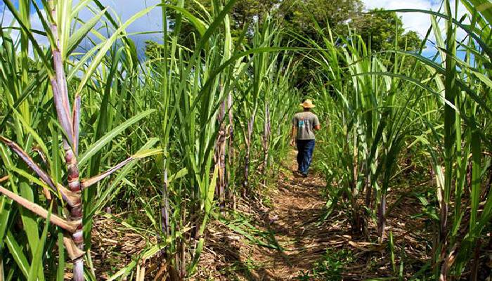 BOULIMIE FONCIERE : La CSS à la recherche 3 500 hectares de terre pour produire plus de sucre