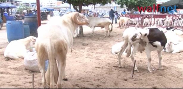 Ladoum, Azawatt, Baly-Baly, Tchadien, Toubaber… : Ces races de béliers qui charment les jeunes dakarois