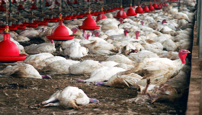 Ouganda : la grippe aviaire signalée