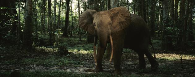 Gabon :  en 10 ans, le nombre d'éléphants a chuté de 80%
