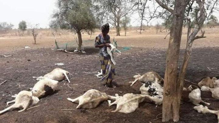 RAVAGES DANS LE CHEPTEL : La fièvre aphteuse attaque 3 000 vaches