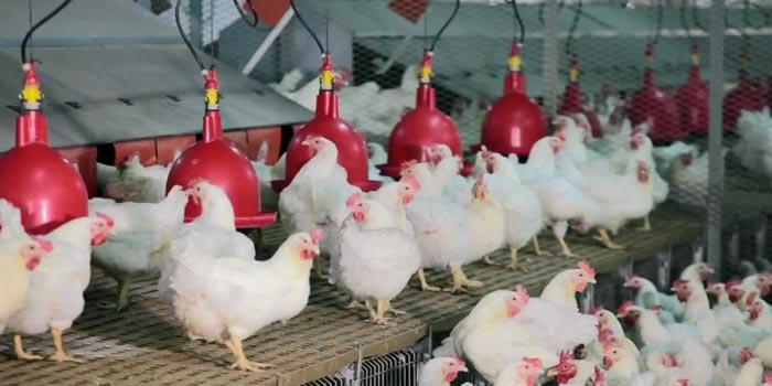 Pour des poussins, des aviculteurs traînent la Sedima en justice