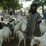 Bloqués à Dakar avec leurs moutons invendus, les éleveurs dans le désarroi
