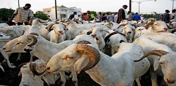 Ziguinchor : la crise  de mouton s'installe