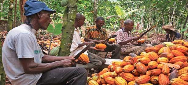 Augmentation de près de 12% du prix du cacao au Ghana