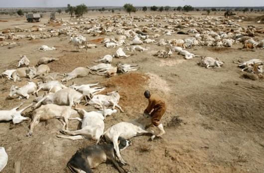 Kaffrine : le cheptel mort, Macky débarque avec un vaccin
