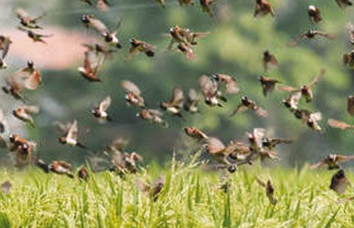 Dagana: Les oiseaux dévorent 70 % des récoltes de contre-saison